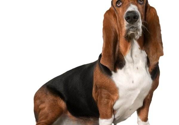 Breed of the Week: Basset Hound