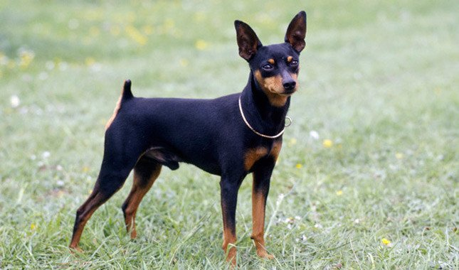 Breed of the Week: Miniature Pinscher