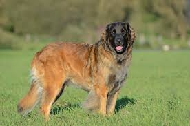 Breed of the Week: Leonberger