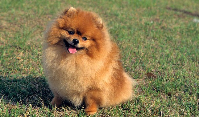 Breed of the Week: Pomeranian