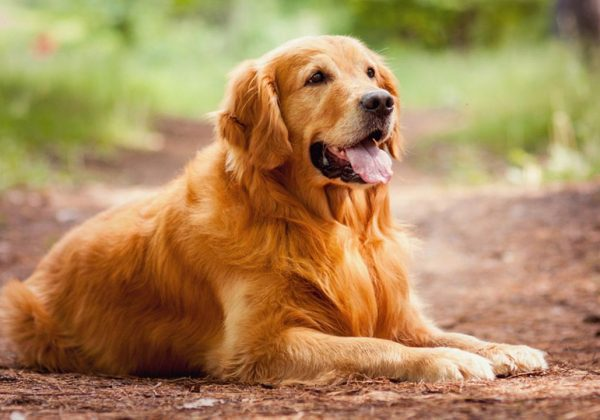 Breed of the Week: Golden Retriever