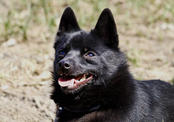 Breed of the Week: Schipperke
