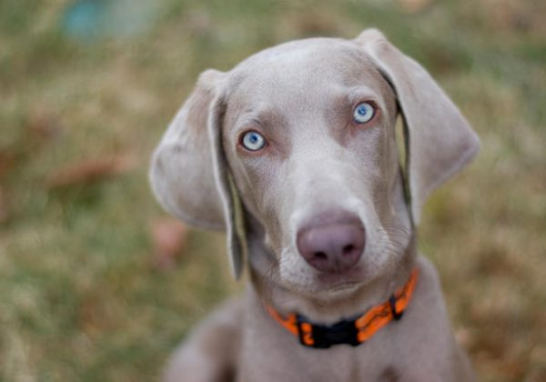 Breed of the Week: Weimaraner