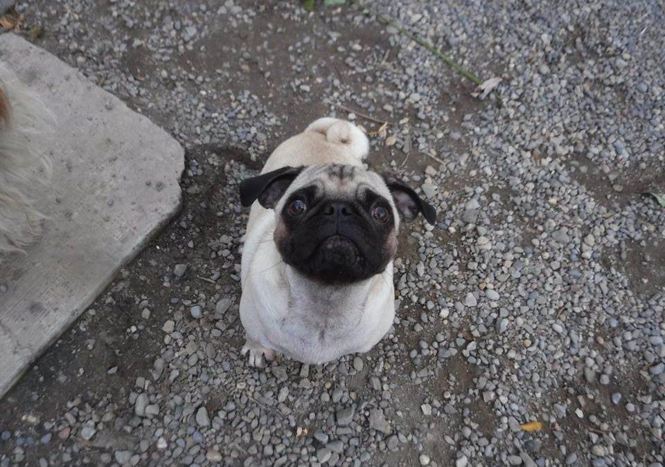 Breed of the Week: Pug