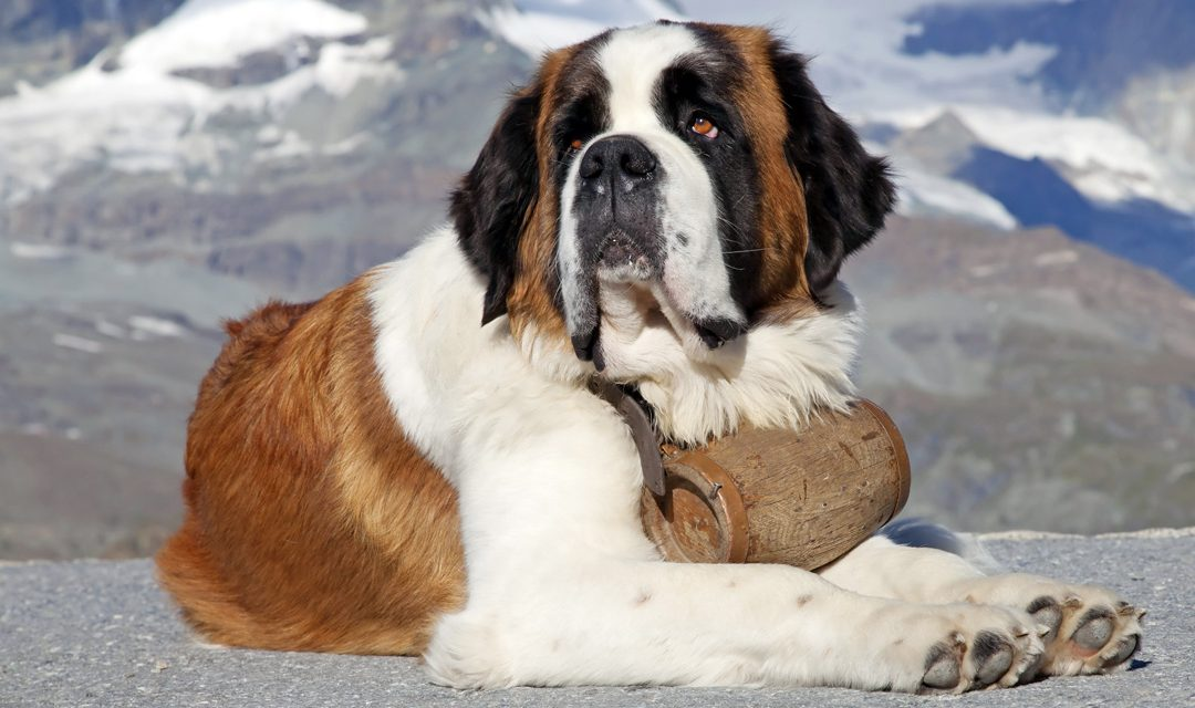 Breed of the Week: St. Bernard