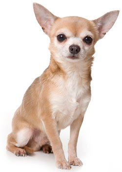 Breed of the Week: Chihuahua