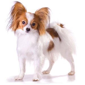 Breed of the Week: Papillon