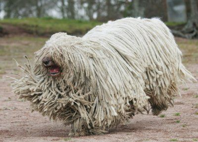 white komondor