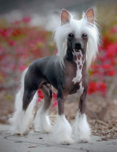 Breed of the Week: Chinese Crested