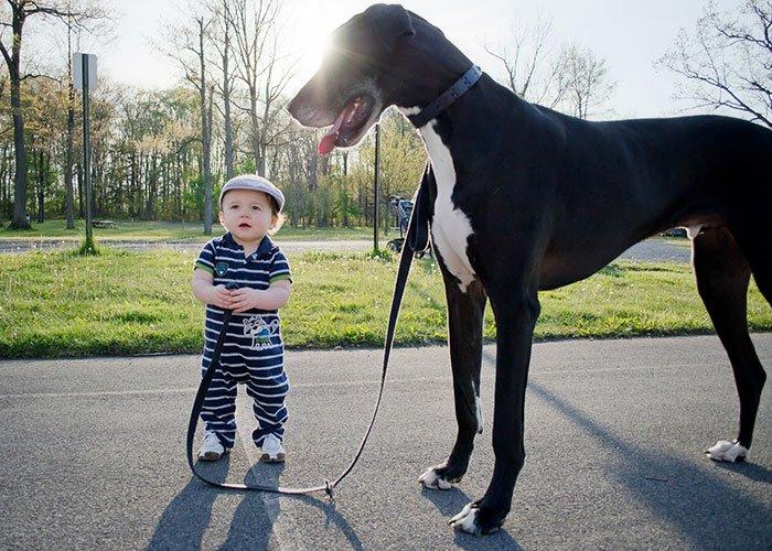kid walking great dane