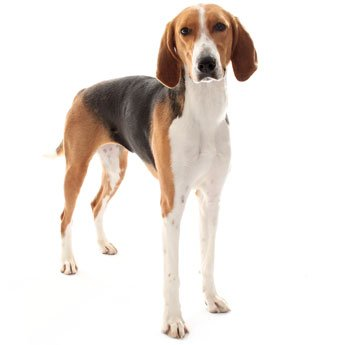 Breed of the Week: American Foxhound