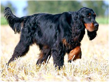Breed of the Week: Gordon Setter