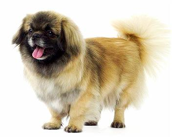 Breed of the Week: Tibetan Spaniel