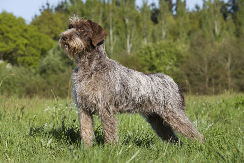 Breed of the Week: Wirehaired Pointing Griffon