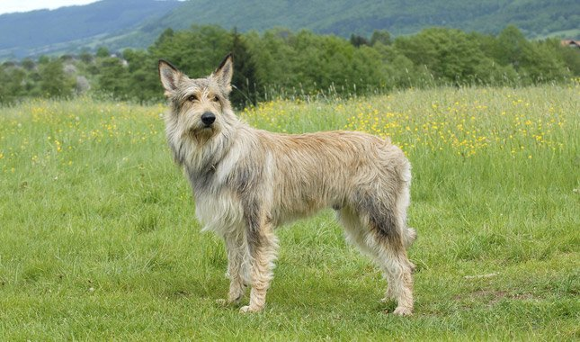 Breed of the Week: Berger Picard