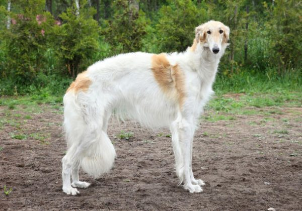 Breed of the Week: Borzoi