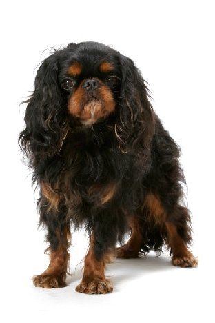 Breed of the Week: English Toy Spaniel