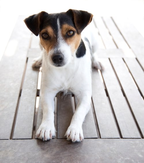 Breed of the Week: Jack Russell Terrier