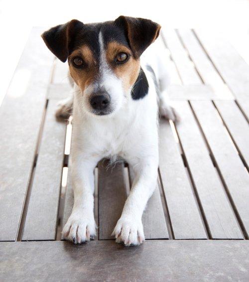 Breed of the Week: Jack Russell Terrier
