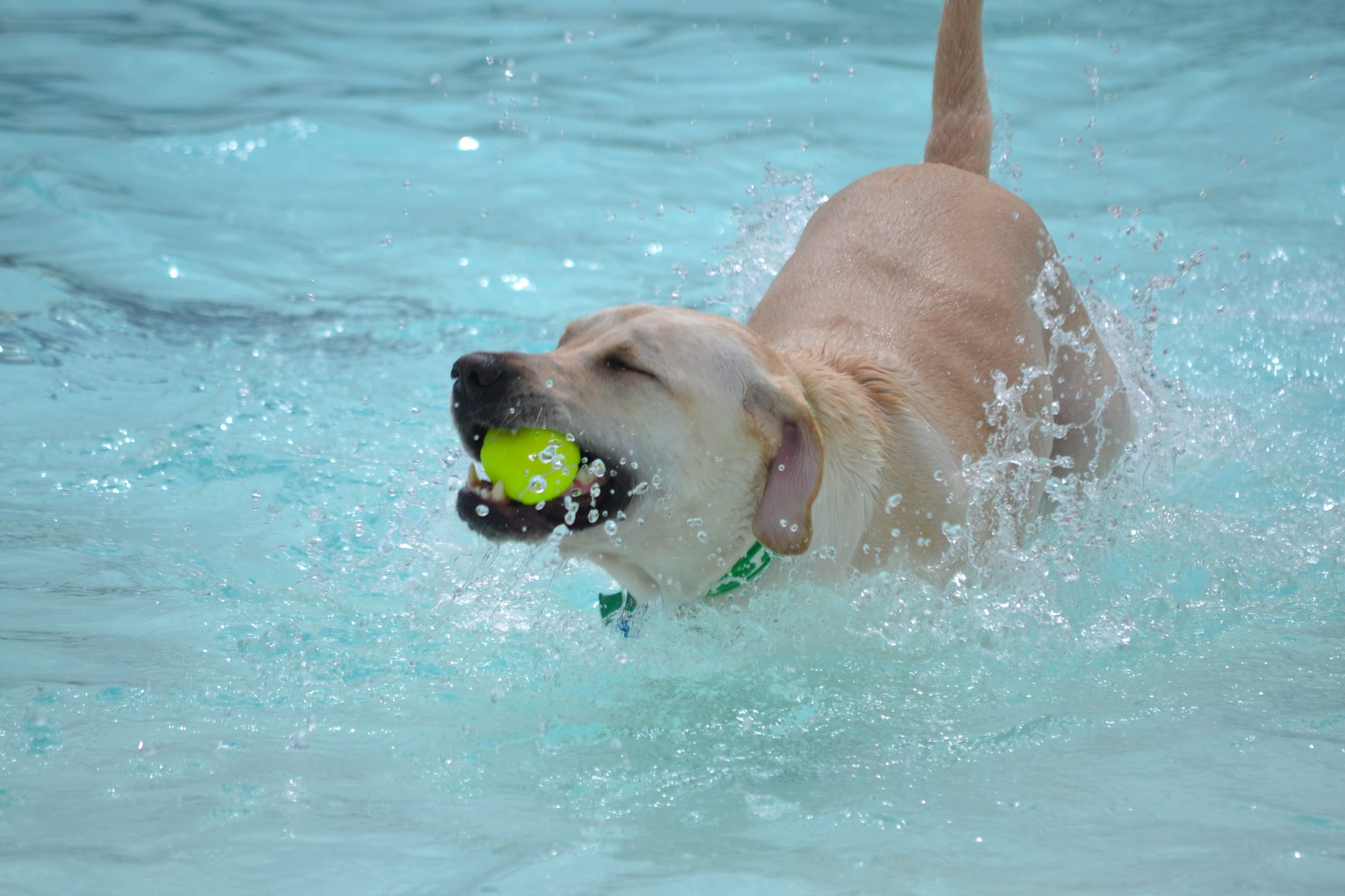 lab swimming