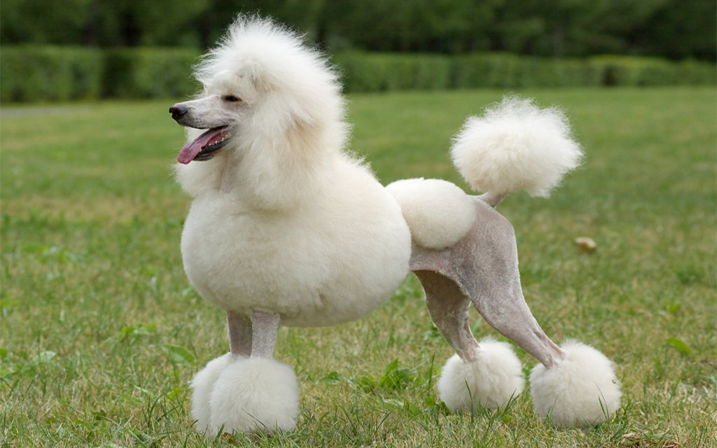 Breed of the Week: Standard Poodle