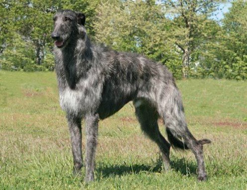 Breed of the Week: Scottish Deerhound